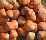 Orange shells as far as the eye can see.