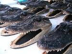 Gator heads!  Let me know if you´d like that to be your Christmas gift this year!