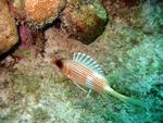 Longspine squirrelfish.