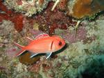 Longjaw squirrelfish.