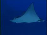 An Eagle ray soars like a bird through the sea. *
