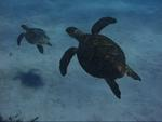 A Hawksbill turtle family photo. *