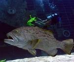 I wouldn't want to run into a group of groupers this big! *