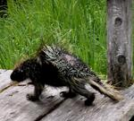 This porcupine looks like a bear ate it, and then spit it back up.