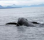 One of the approximately 1000 humpback whales that swim along Alaska's coast in the summer.  *Photo by Rick