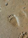 Bear Tracks. *Photo by Rick