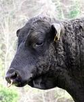 Nose rings are the latest bovine fashion.