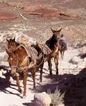 Mules gallop out of the canyon.