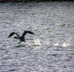 Who knew loons could walk on water?