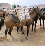 Supai has the only mail in the US still carried by mules.