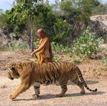 A monk takes the tiger for an afternoon stroll.