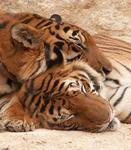 Snuggling tigers. *Photo by Lee.