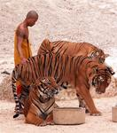 Monks with tigers. *Photos by Lee.