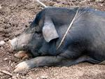 One of the tribe's pet pig.