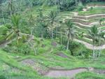 Rice-fields flow down the hill like a grassy waterfall.