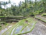Terraced rice-paddy near Ubud.
