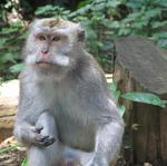 That's one serious Balinese macaque.