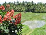 A burst of red in the rice fields.