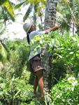 A Balinese man climbs a tree to get us a refreshing coconut.