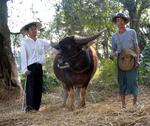 After searching through the village, we come across a farmer with his water-buffalo.