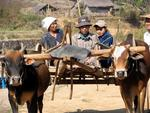 Hitching a ride on an Ox-cart.