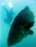 Massive Jewfish are common around the Dry Tortugas, a group of islands 70 miles from Key West, Florida.  I snapped this shot of the mammoth grouper swimming with Greg.