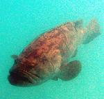 A Jewfish, a giant sea bass, can grow up 8-ft and reach 700 pounds.
