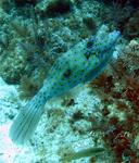 "The scrawled filefish is better known as the ""funky fish."""