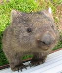 Can you have a pet Wombat?