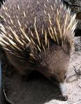 An Echidna.  Try saying that 10 times fast.  (Try saying that once!)