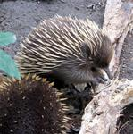 Furr and spikes.  Perhaps the Echidna is into animal bondage?