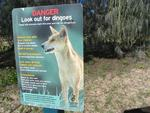 Hurry, there are wild Dingoes roaming about.