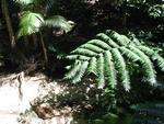 Wild ferns grow without any soil.