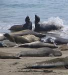 Elephant seals spash and play along the shore in Central California.
