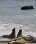 Elephant seals at play.