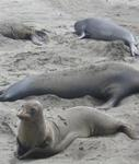 Elephant Seals can stay under water for more than 80 minutes (more than any other mammal in the world.)