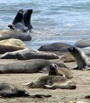 Elephant seals like to play.