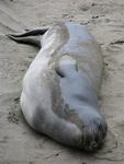 Elephant seals have hairy flippers, no ears and they grow noses down to their mouths.