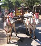 Ox-carts march through town.