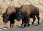 The Buffalo stroll down the road causing a traffic jam of one (us!)