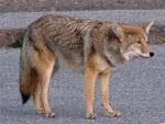 Coyote--not ugly.